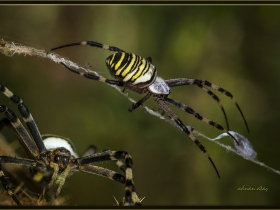 Arı örümceği - Argiope bruennichi - Wasp spider (Ankara 2015) 1