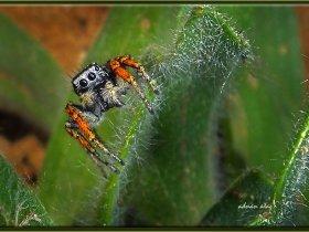 Sıçrayıcı örümcek - Jumping Spiders - Philaeus chrysops (Ankara 2013)