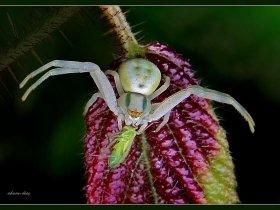 Yengeç örümceği - Crab Spiders - Thomisus Onustus (Sapanca 2009)
