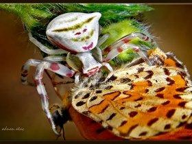 Yengeç örümceği - Crab Spiders - Thomisus Onustus ve Benekli iparhan kelebeği (Gebze 2011)