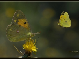 Sarı azamet - Colias crocea - Clouded Yellow (Ankara 2015)