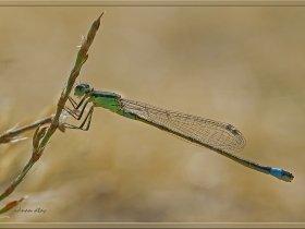 3a) Kızböceği - Zygoptera (Ankara 2012) 1
