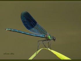 4b) Bantlı Kızböceği - Calopteryx splendens - Banded Demoiselle (Ankara 2014) erkek birey
