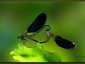 5) Güzel kızböceği - Calopteryx virgo - Beautiful demoiselle (Sinop 2008)