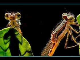 9) Sibirya kızböceği - Sympecma paedisca - Siberian Winter Damsel (Ankara 2007)