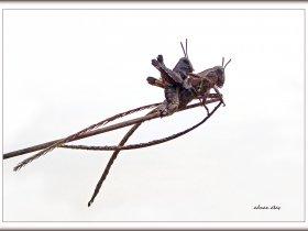 Kısa antenli çekirgelerden - Pardalophora apiculata (Sapanca 2007)
