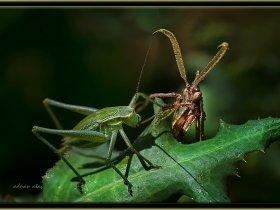 Peygamber devesi - Empusa pennata - Conehead mantis (Ankara 2013)