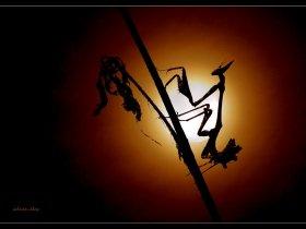 Peygamber devesi - Empusa pennata - Conehead mantis (Ankara 2009) 2