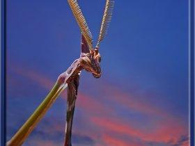 Peygamber devesi - Empusa pennata - Conehead mantis (Ankara 2010)