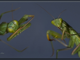 Peygamber devesi - Mantis religiosa - European mantis