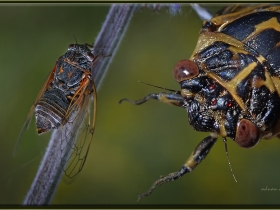 Ağustos böceği - Cicada Mania (Ankara 2011)