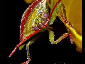 Tısböceği