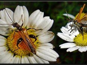 Tekeböceği (Yalancı) - Oedemera flavipes (Sapanca 2013)