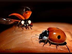 Uğur böceği (İki benekli) - Adalia bipunctata (Bursa 2010)