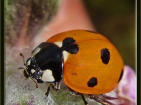 Uğur böceği (Yedi benekli) - Coccinella septumpunctata (Ankara 2005) 3