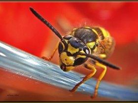 2b) Yabanarısı - vespa crabro (Safranbolu 2010)