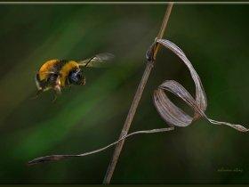 5) Tüylü arı - Bombus (Ankara 2009)