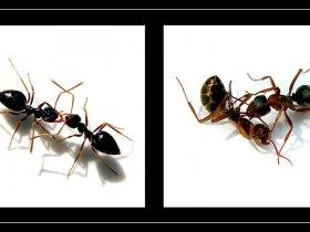9) Karınca güreşi - Formicidae (Ankara 2007)
