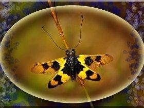 Baykuş sineği - Libelloides Macaronius (Ordu 2008)