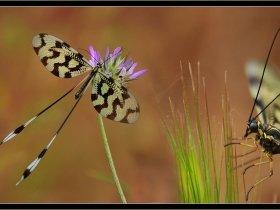 Uçurtma Böceği - Nemoptera Sinuata (Ölüdeniz 2010)