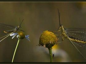 Uçurtma böceği - Chasmoptera huttii - Spoonwing (Ankara 2015)