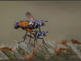 10) Tırtılsinekleri - Cylindromyia brassicaria (Ankara 2014)