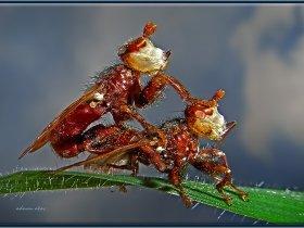 11) Beyaz yüzlü sinek (Ankara 2011)