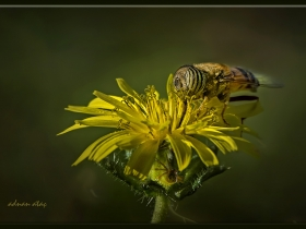 3) Çizgili gözlü arısineği - Eristalinus taeniops - band eyed drone fly (Bursa 2014) 1