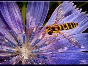 4) Süslü sinek (Reçel sineği) - Episyrphus balteatus - Marmalade hoverfly (Ankara 2011)