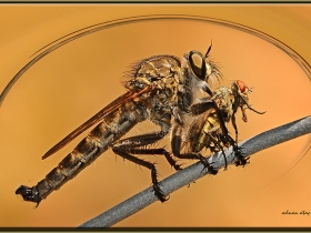 5) Katil (Yırtıcı)  sinek - Machimus occidentalis - Robber Fly (Antakya 2009)