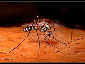 6) Asya kaplan sivrisineği - Aedes albopictus (Kemaliye 2010)
