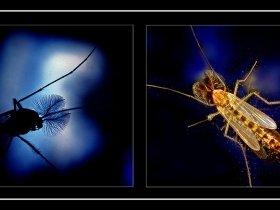 7) Titrek sinek (Sürü sineği) - Chironomidae (Ankara 2007)