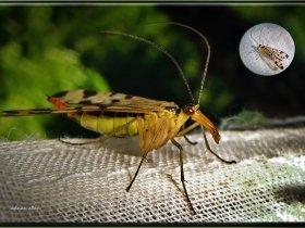 8) Akrep sineği - Mecoptera (Rize 2007)