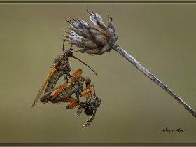 9) Hançerli sinek - Empis tessellata - Dagger fly, dance fly -  (Ankara 2014)