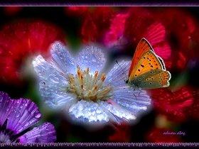 Sevgi çiçeği (Centaurea tchihatcheffii) ve Küçük ateş kelebeği