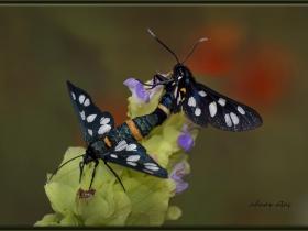 Arctiidae (Ayıkelebekleri) Fam. Dokuz benekli güve - Amata Phegea - Nine Spotted moth (Ankara 2015) 2