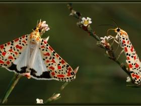 Arctiidae (Ayıkelebekleri) Fam. Güzelbenekli ayı güvesi - Utetheisa pulchella - Crimson Speckled (Adana 2008) 2