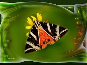 Arctiidae (Ayıkelebekleri) Fam. Kaplan Kelebeği - Euplagia quadripunctaria - Jersey tiger (Ölüdeniz 2008)