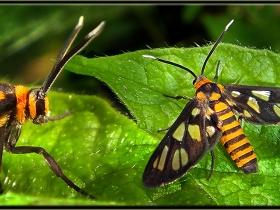 Arctiidae (Ayıkelebekleri) Fam. Syntomis marsdeni - Amata huebneri (Malezya 2013)