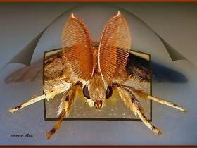 Erebidae Fam. Sünger (Meşe) kelebeği - lymantria Dispar - Bombyx disparate (Samsun 2008)
