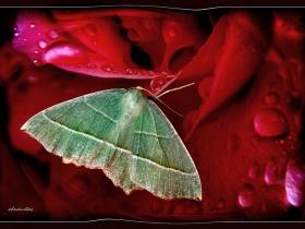 Geometridae (Mühendiskelebekleri) Fam. Campaea margaritata - Light Emerald (Hemşin 2007)