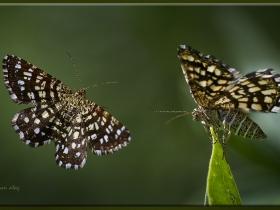 Geometridae (Mühendiskelebekleri) Fam. Chiasmia clathrata - Latticed Heath (Ankara 2013)