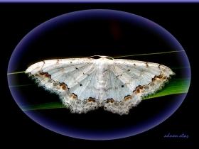 Geometridae (Mühendiskelebekleri) Fam. Dantel süslü güve - Scopula ornata - Lace Border (Sapanca 2007)