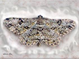 Geometridae (Mühendiskelebekleri) Fam. Ennominae Boarmiini (Ankara 2007)