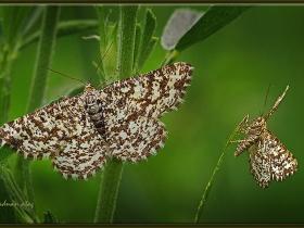 Geometridae (Mühendiskelebekleri) Fam. Heliomata glarearia (Ankara 2009)