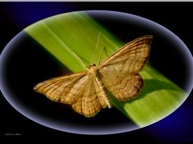 Geometridae (Mühendiskelebekleri) Fam. Idaea ochrata - Bright wave (Ordu 2008)