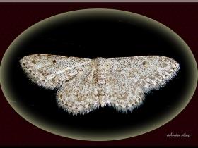 Geometridae (Mühendiskelebekleri) Fam. Idaea seriata - Small Dusty Wave (Ankara 2008)