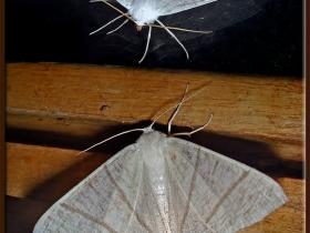 Geometridae (Mühendiskelebekleri) Fam. Kırlangıçkuyruklu güve - Ourapteryx sambucaria - Swallow-tailed (Artvin 2006)