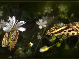 Noctuidae (Baykuşkelebekleri) Fam. Çizgili Emel - Acontia (Emmelia) trabealis - Spotted Sulphur (Kars 2012)