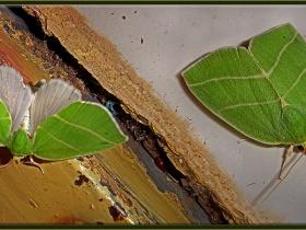 Noctuidae (Baykuşkelebekleri) Fam. Bena bicolorana (Kemaliye 2010)
